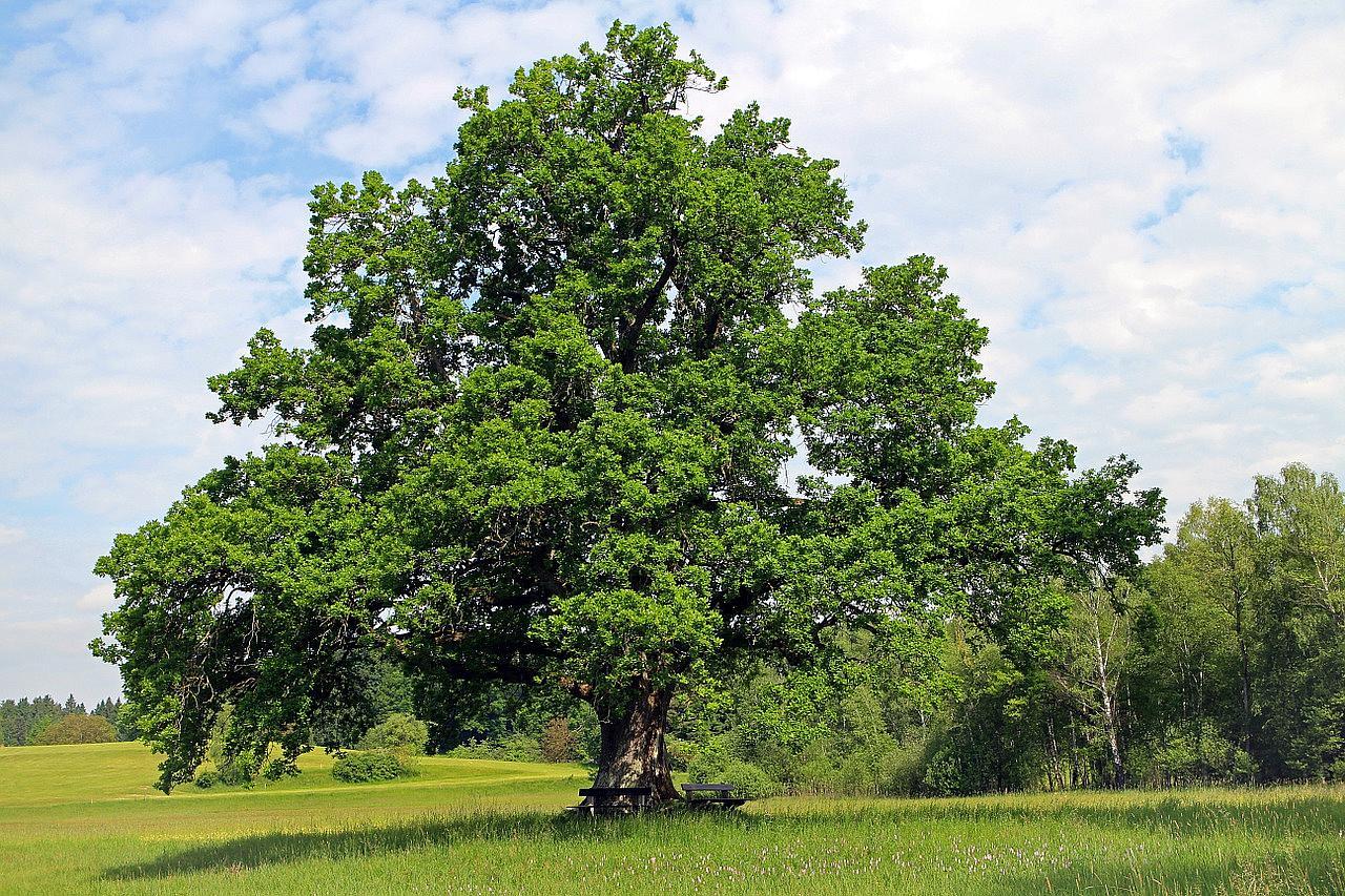 oak_tree- java-techcult